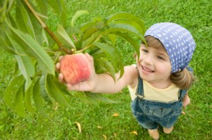 peach-picking